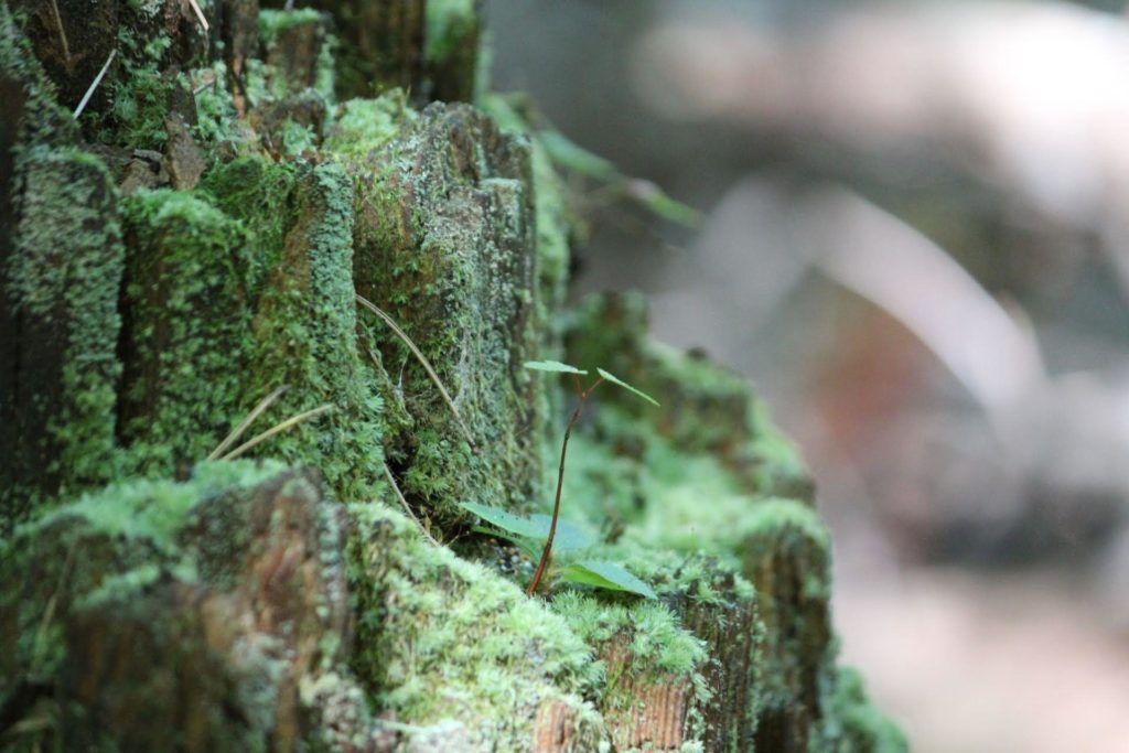 Sprout growing on a mossy stump