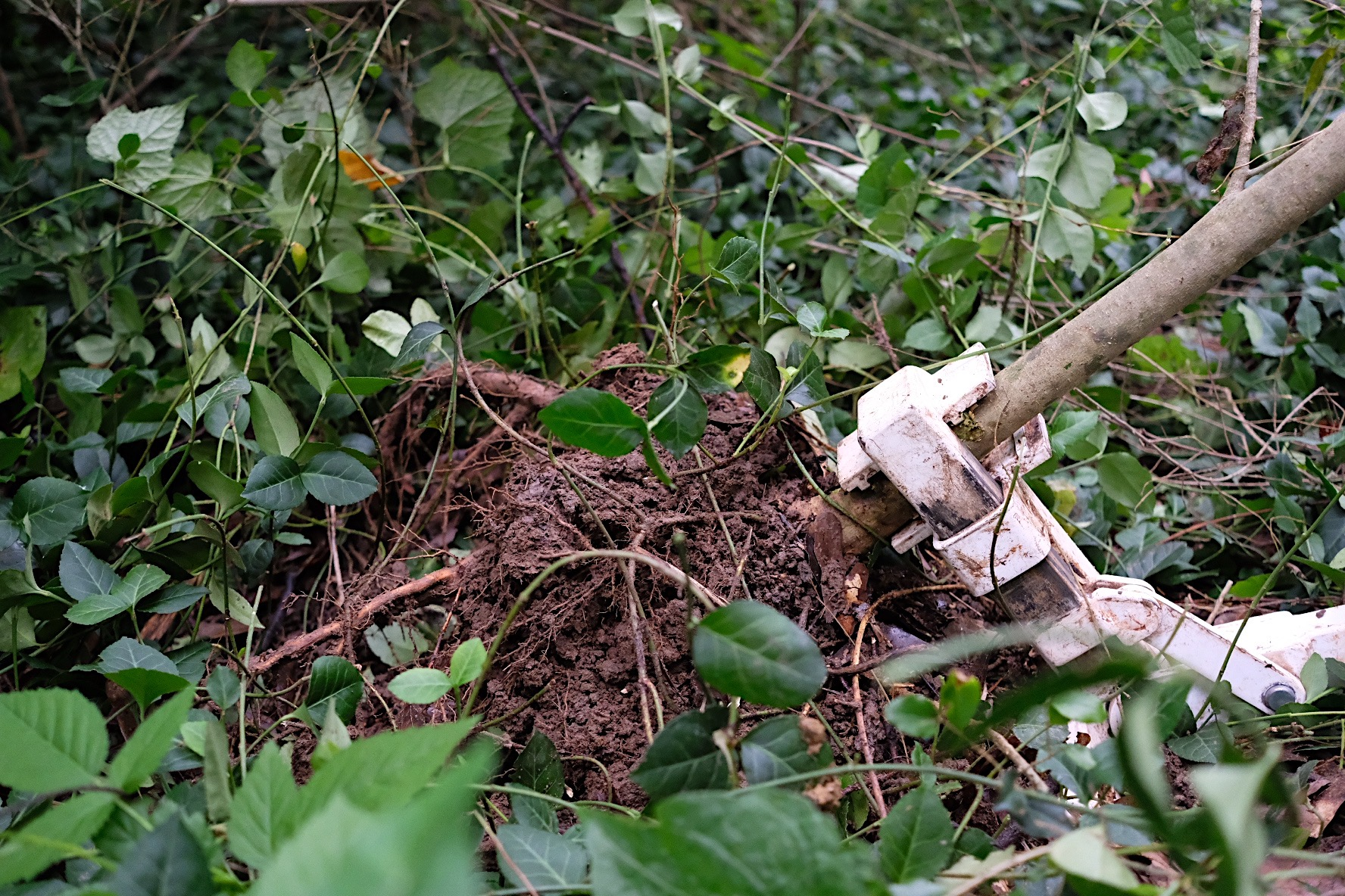 Uprooting privet using a tool