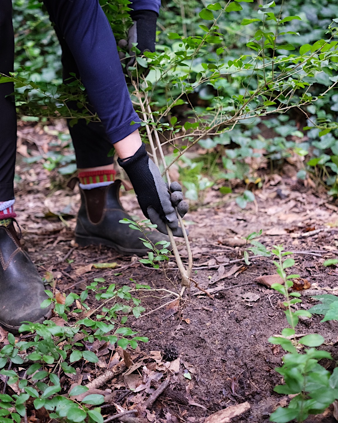 Pulling out privet from the ground