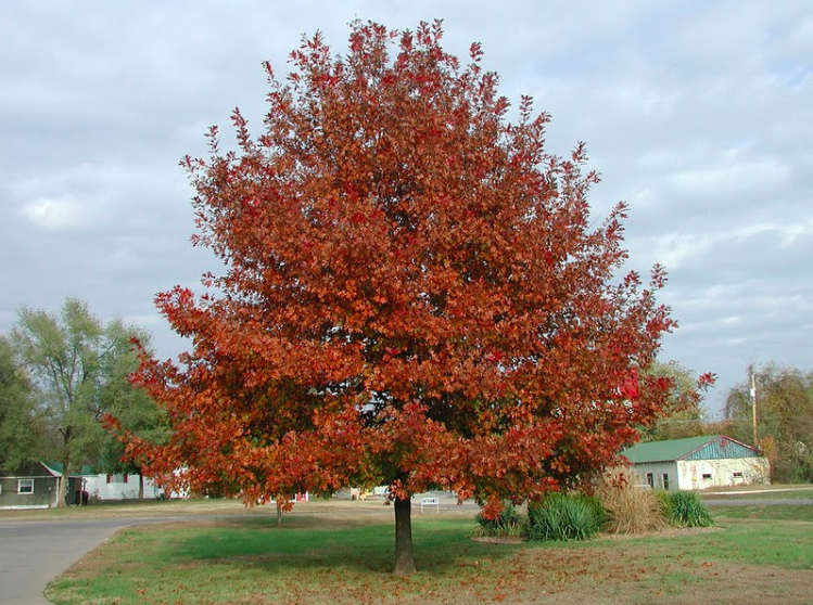 Quercus shumardii full size tree