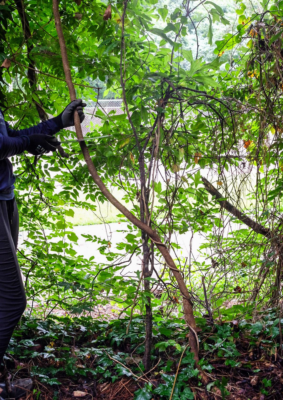 Cutting wisteria vine