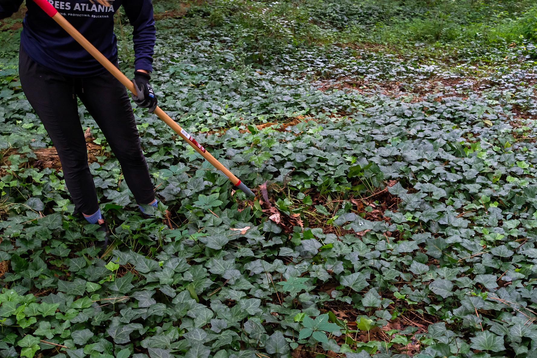 Hand raking English ivy