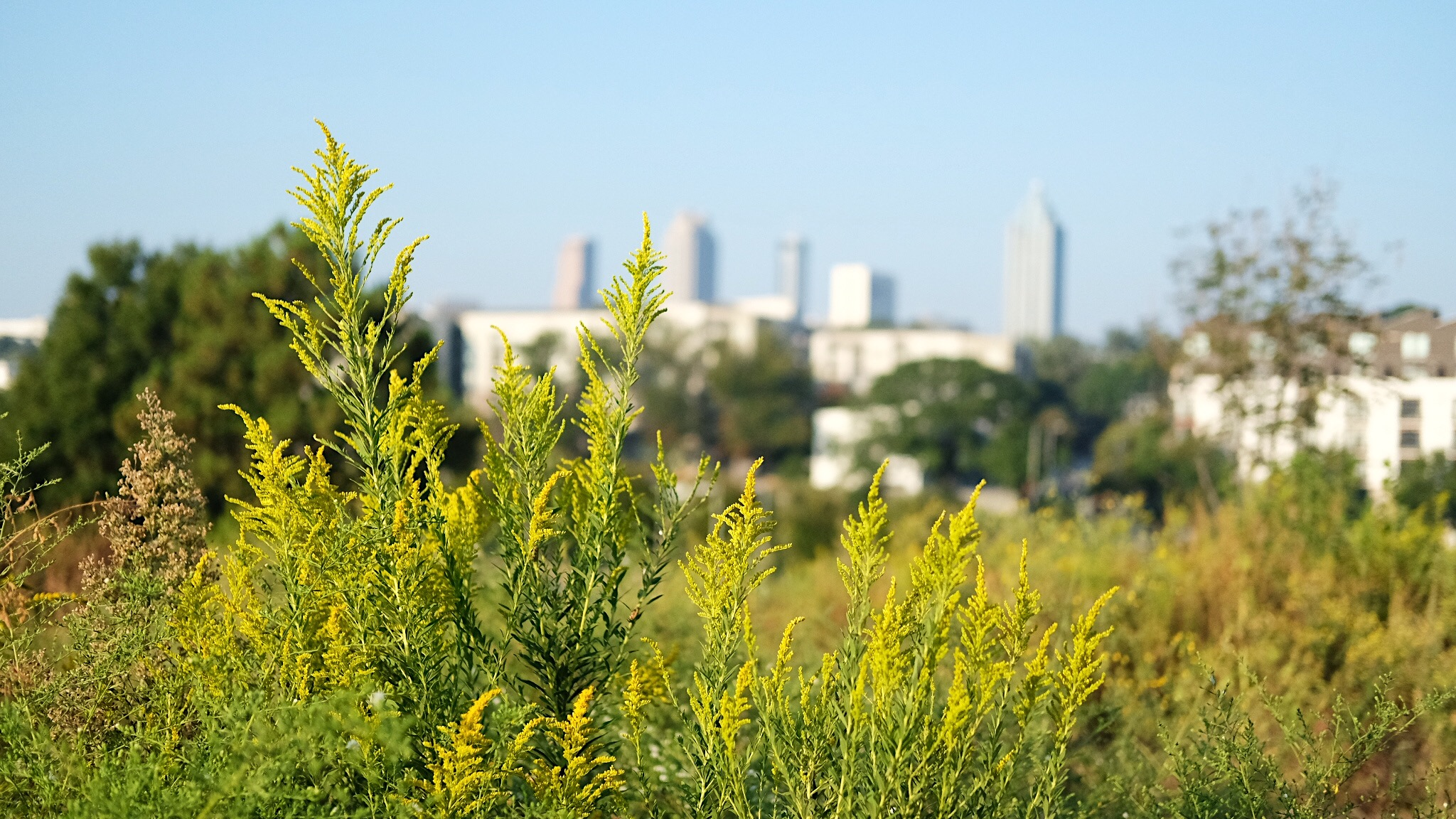 Goldenrod on Atlanta BeltLine Arboretum