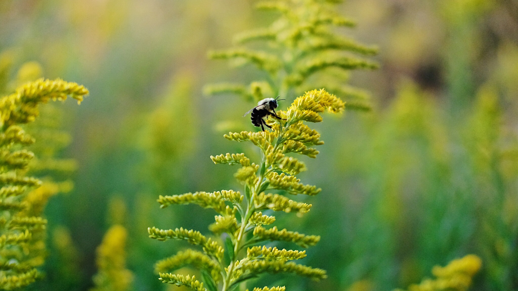 Bee on goldenrod flowers