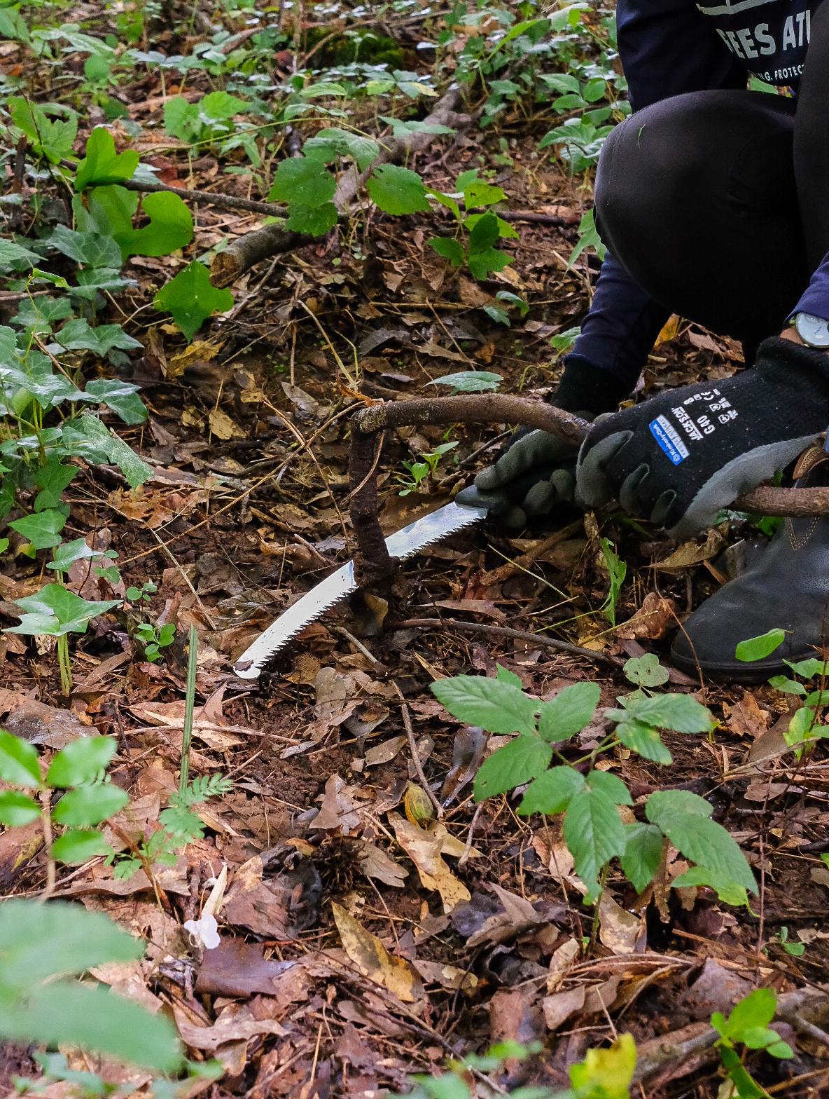 Cutting kudzu at base of vine