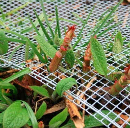 Girdling Japanese knotweed