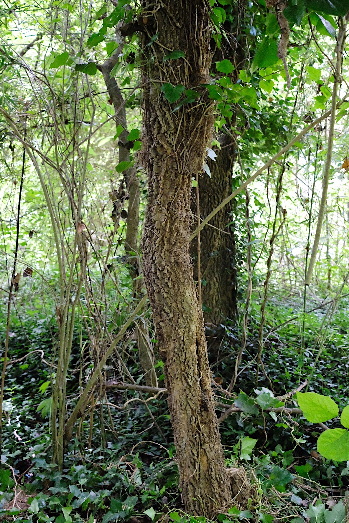 Tree with ivy removed