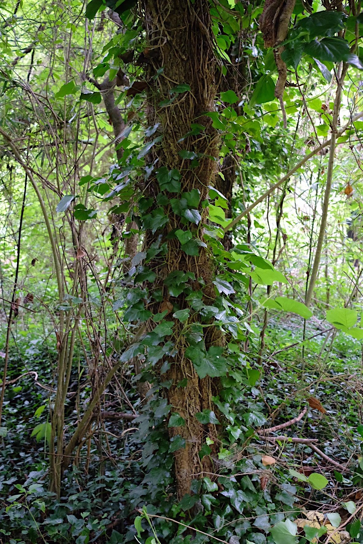 Ivy climbing a tree