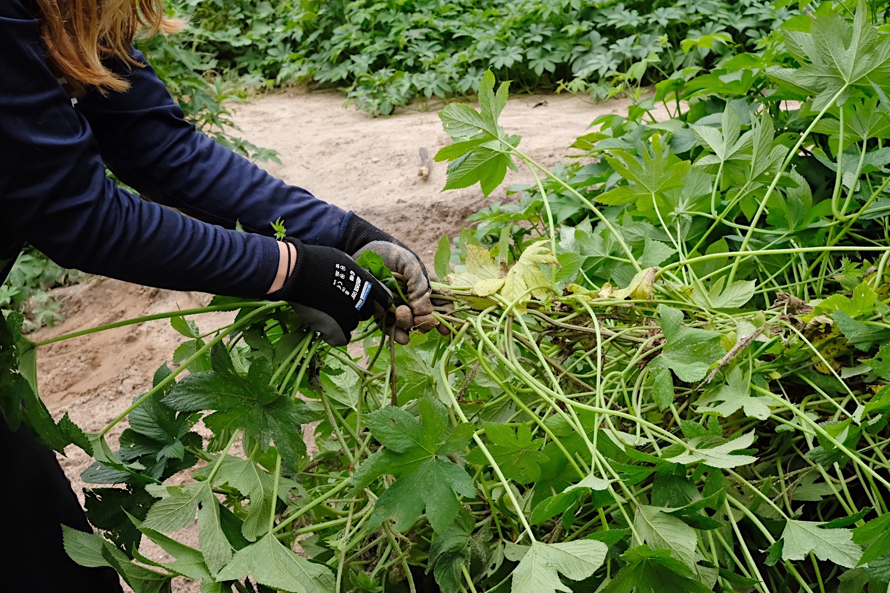 Hand-pulling Japanese hops
