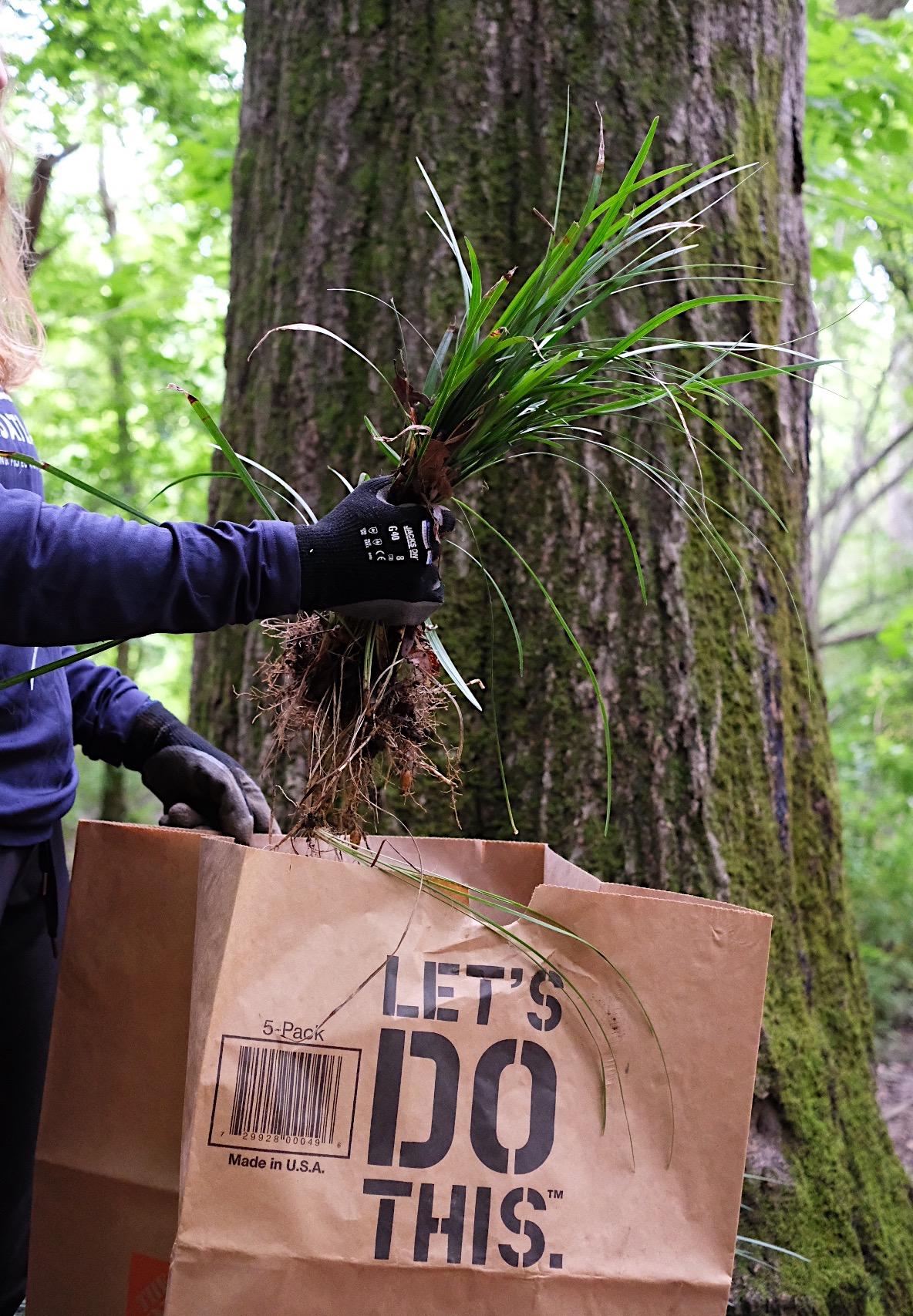 Putting mondo grass into a compost bag