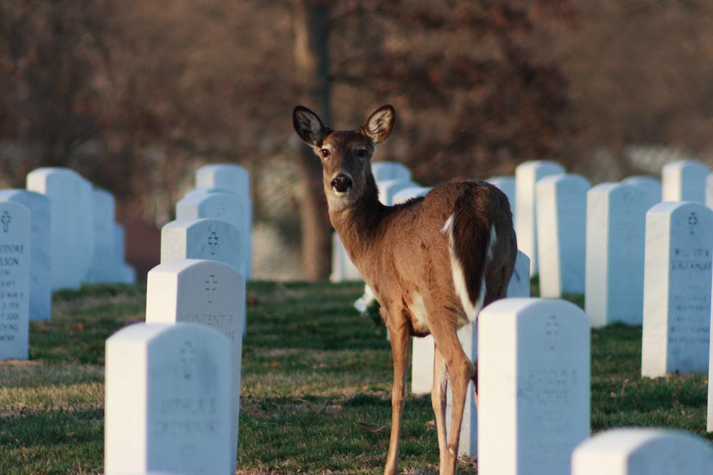 Deer in cemetery
