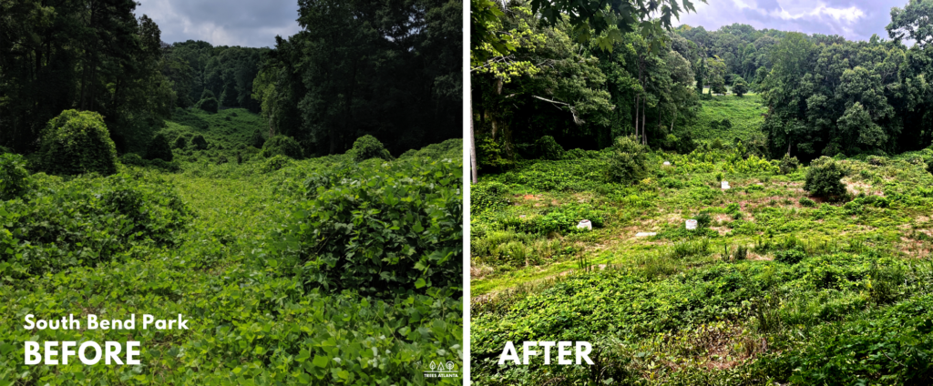 before and after photos of South Bend Park kudzu field