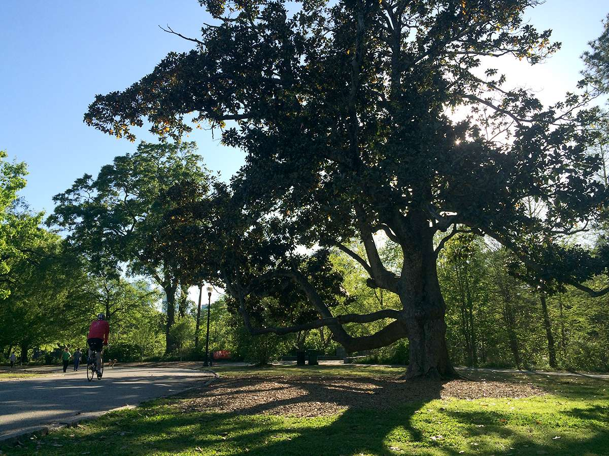 "The ""Climbing Magnolia"" in Piedmont Park is one of the city's most recognizable — and most photographed — trees. Here's a Who's Who of metro Atlanta trees and why you should know who they are."