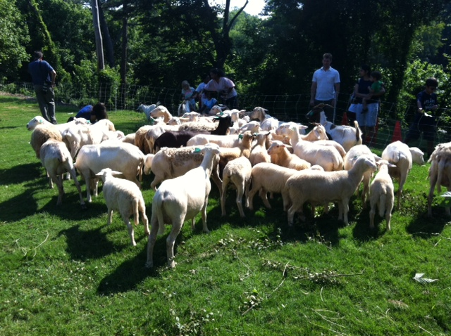 Trees Atlanta sheep eating invasive plants